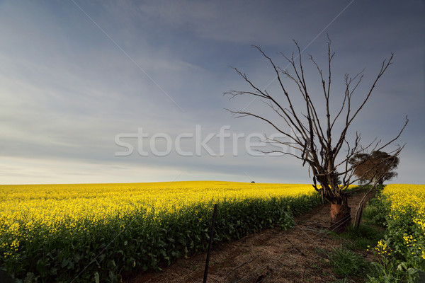 Golden Canola rural farmland Stock photo © lovleah