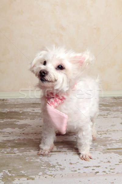 Köpek vücut küçük beyaz eğlence komik Stok fotoğraf © lovleah