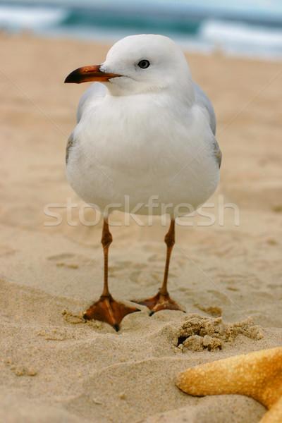 Australian Seagull Stock photo © lovleah