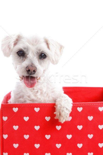 Cute puppy dog in a red love heart box Stock photo © lovleah