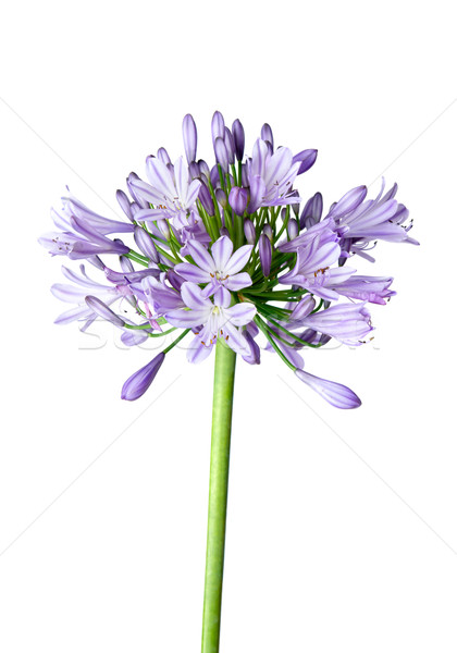 Agapanthus blue on white background Stock photo © lovleah