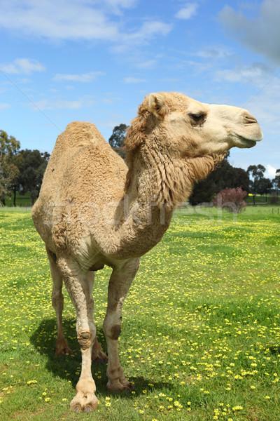Camello campo flores amarillas cielo flores naturaleza Foto stock © lovleah