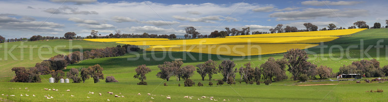 Green pastures and fields of Gold Stock photo © lovleah