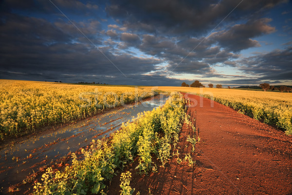 Stock photo: First rays of light across Canola Fields Australia