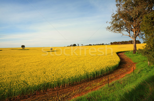 Hectares of agricultural Canola Plants in flower Stock photo © lovleah