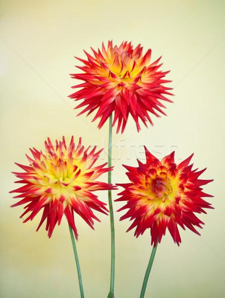 Kaktusz dália karma fenséges látványos tele Stock fotó © lovleah