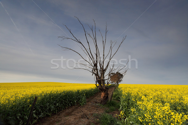 Canola field in morning light Stock photo © lovleah