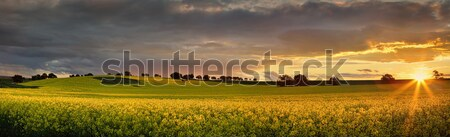 Canola farmlands as the sun sets  Stock photo © lovleah