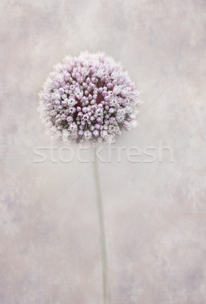 Beautiful allium flower Stock photo © lovleah