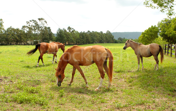 Grazing horses in a field Stock photo © lovleah