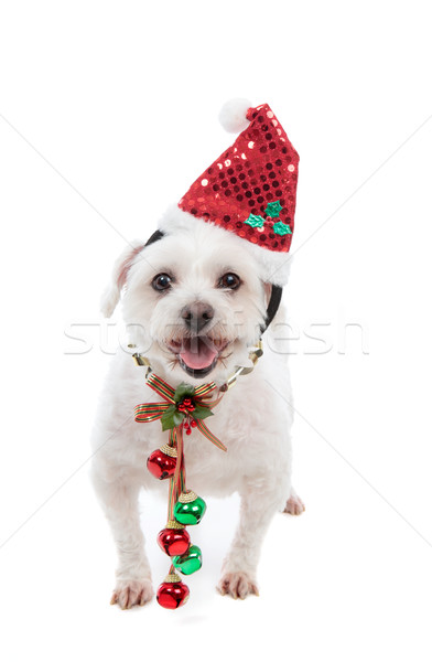 Festive Christmas puppy with jingle bells Stock photo © lovleah