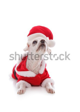 White dog wearing a santa claus suit and looking up Stock photo © lovleah