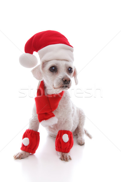 White dog wearing Santa hat, scarf and legwarmers Stock photo © lovleah