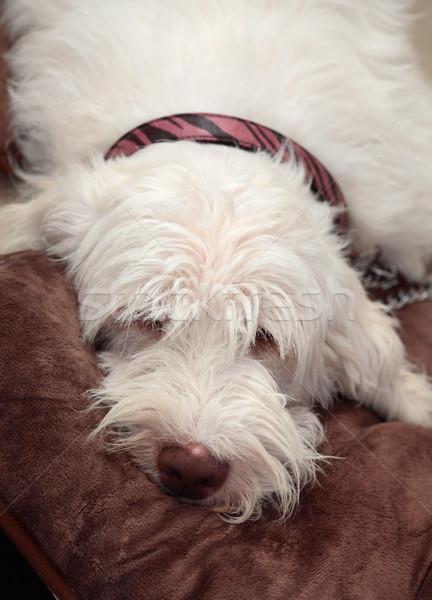 Italian spinone dog resting Stock photo © lovleah