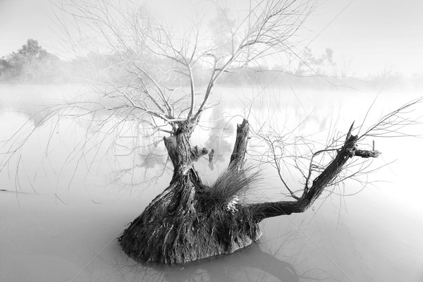 Lone tree on a foggy morning at Pugh's Lagoon Stock photo © lovleah