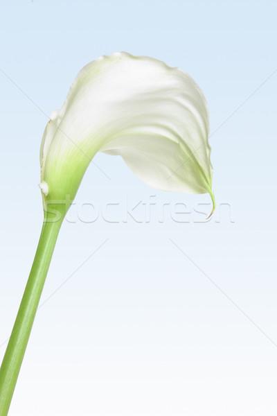 Witte lelie zachte pastel bloem mooie Stockfoto © lovleah