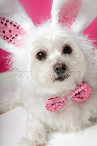 Pretty fluffy white dog in fancy bunny costume  Stock photo © lovleah