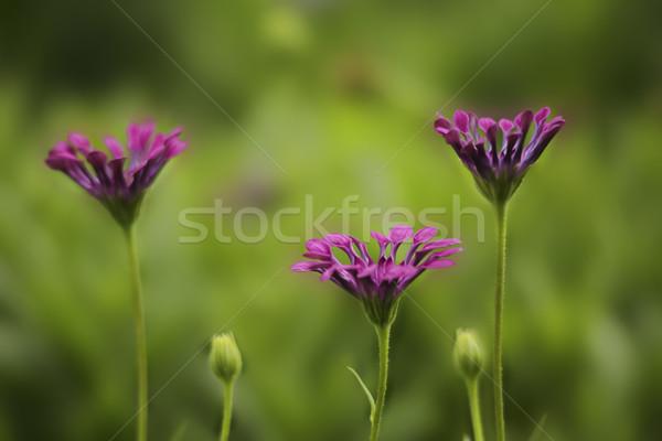 Flor pétalas enrolado crepúsculo magenta raso Foto stock © lovleah
