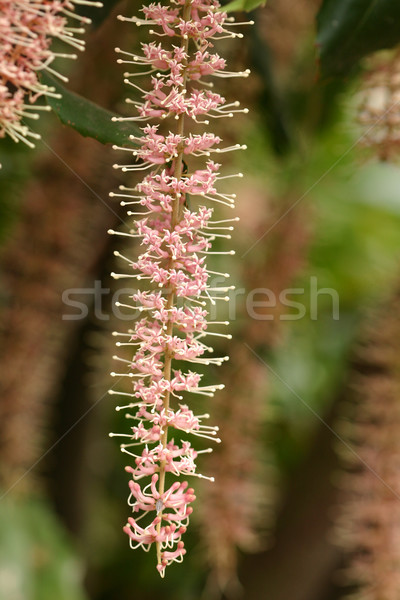 Macadamia  flower cluster Stock photo © lovleah