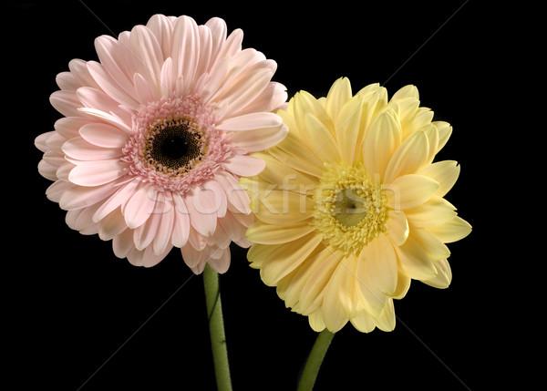 Pastel rose beurre jaune contraste noir Photo stock © lovleah