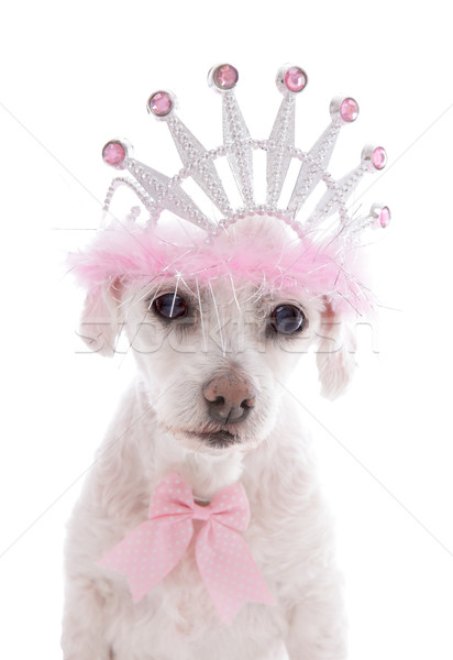 Pampered Princess Pet Dog Stock photo © lovleah