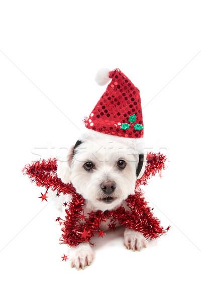 Pretty Christmas Star Dog Stock photo © lovleah