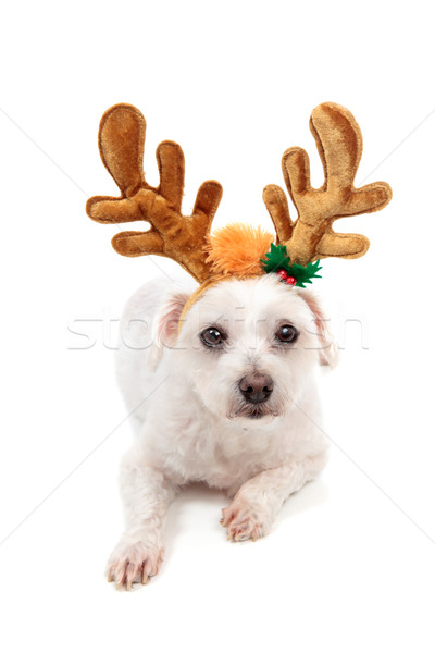White maltese wearing antlers Stock photo © lovleah