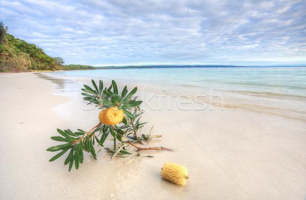 Banksia Serrata on the beach Stock photo © lovleah