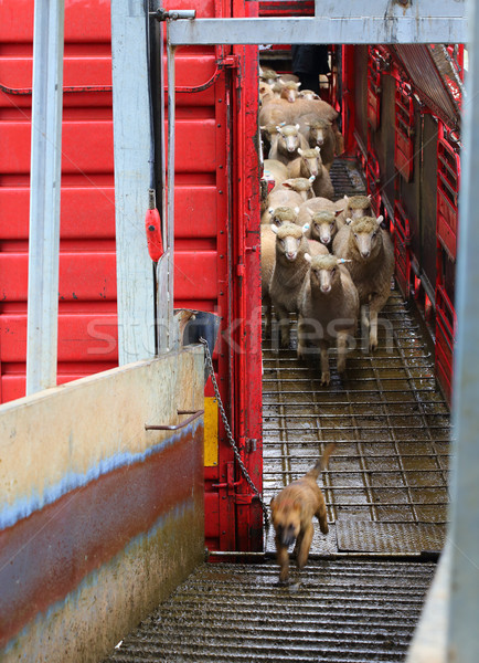 Sheep being offloaded livestock truck Stock photo © lovleah