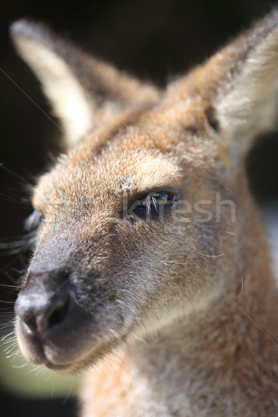 Australian Wallaby Stock photo © lovleah
