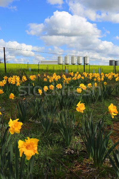 Farm Silos and daffodils Stock photo © lovleah