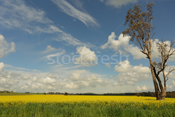 Fields of golden canola flowering in the springtime Stock photo © lovleah