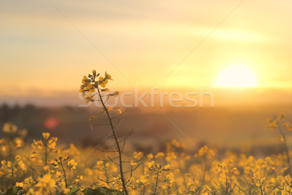 Stock photo: Sunrise Golden Canola