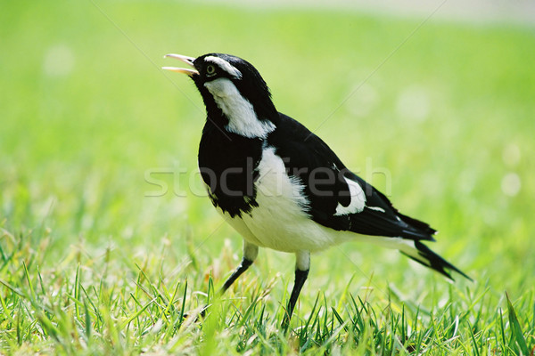 Magpie Lark Stock photo © lovleah