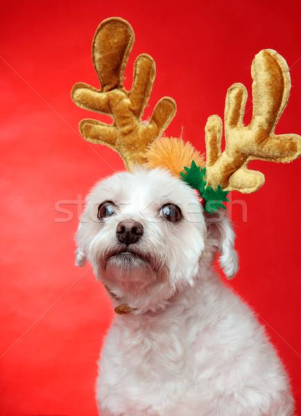 Bonitinho natal cão rena branco Foto stock © lovleah