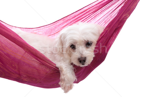 Pampered puppy lying in hammock Stock photo © lovleah