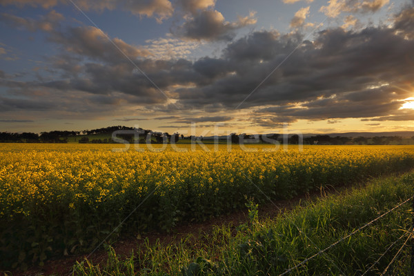 Rural counttryside landscape and golden canola Stock photo © lovleah