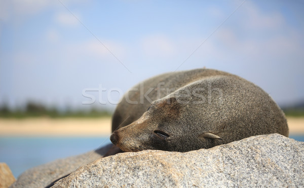 Assonnato pelliccia sigillo rock sole nove Foto d'archivio © lovleah