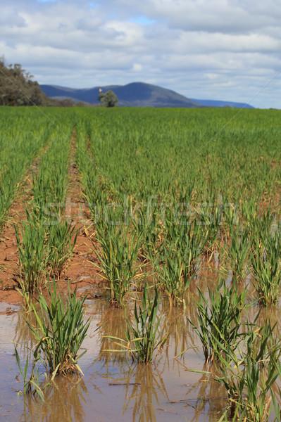 Waterlogged wheat crops after partial flooding Stock photo © lovleah
