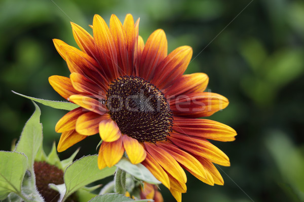 Beautiful sunflower blooming summer Stock photo © lovleah