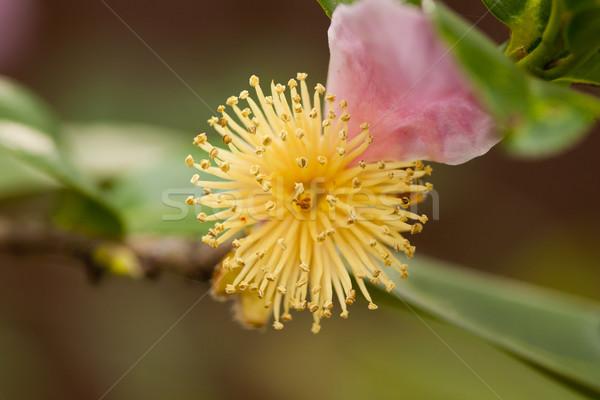 Absztrakt gyönyörű lövés mutat virág természet Stock fotó © lovleah