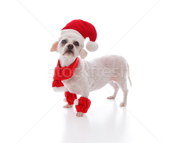 Little white dog looking for santa Stock photo © lovleah
