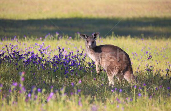Canguro campo fioritura fiori mangiare Foto d'archivio © lovleah