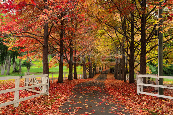 Maple lined drive way in Autumn Stock photo © lovleah
