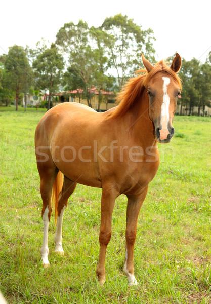 Castanha cavalo em pé rural animal Foto stock © lovleah