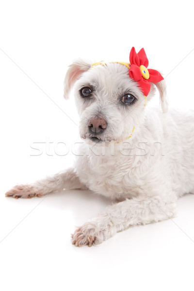 Small white dog lying down resting Stock photo © lovleah