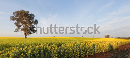 Morning light over Canola Field Stock photo © lovleah
