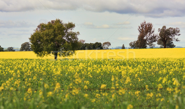 Grazing Canola alongside a field of Canola Stock photo © lovleah