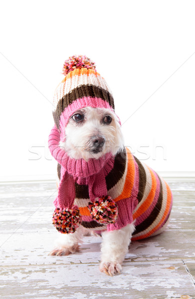 Adorable dog wearing winter sweater Stock photo © lovleah
