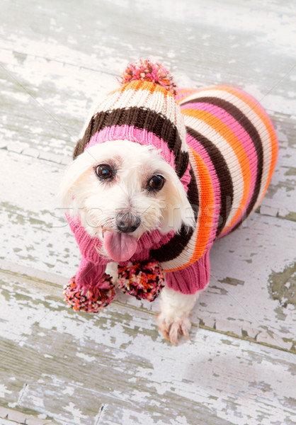 Small terrier wearing winter fashion Stock photo © lovleah